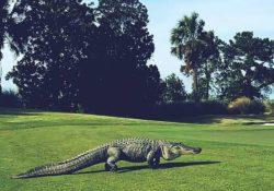 как использовать индикатор alligator